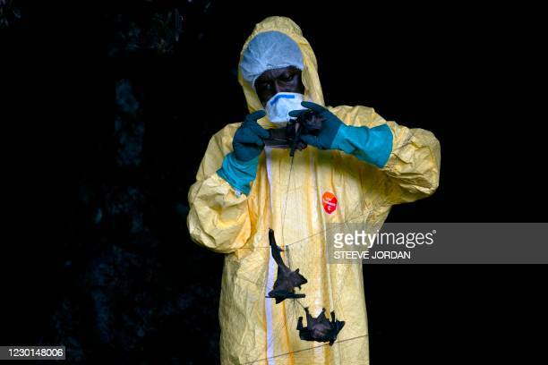 Researcher with Franceville International Medical Research Centre collects bats in a net on November 25, 2020 inside a cave in the Zadie region in...