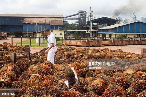 Researchers collect the fruits of oil palm trees at the Agropalma Group facility in Tailandia Para Brazil on Monday March 27 2006 Agropalma produces...