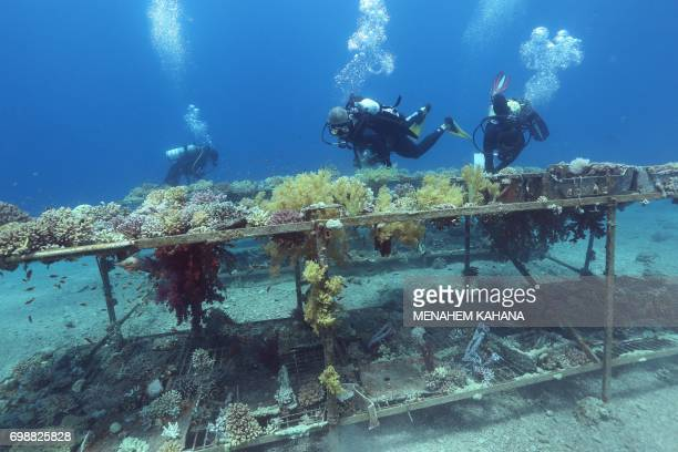 Researchers from the Interuniversity Institute for Marine Sciences in the southern Israeli resort city Eilat monitor coral growth while scuba diving...