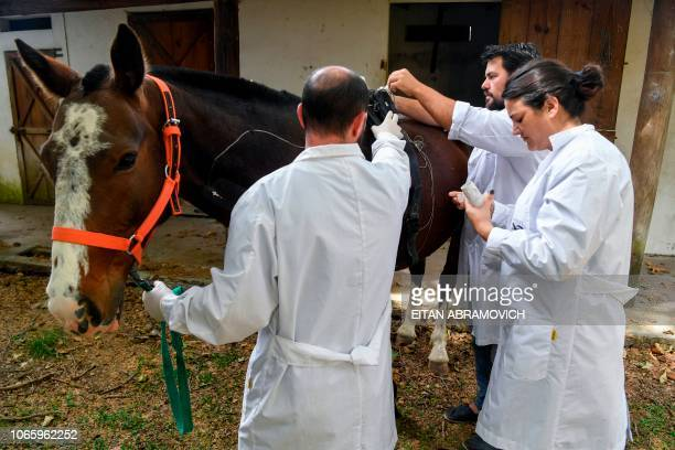 Researchers of the Genetics Veterinary Institute make tests to a polo horse at La Plata University in La Plata Argentina on November 06 2108...