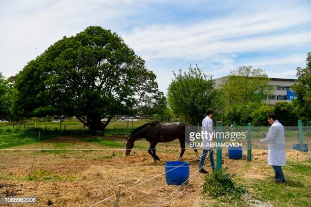 Researchers of the Genetics Veterinary Institute walk next to a polo horse at La Plata University in La Plata Argentina on November 06 2108...