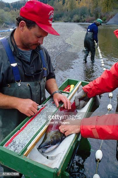 Researchers Tag Sockeye Salmon in British Columbia