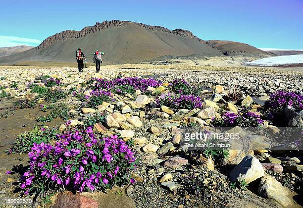 Researchers walk toward a glacier while flowers in full bloom on August 2 2012 near Qaanaaq Greenland In Greenland there is said to be approximately...