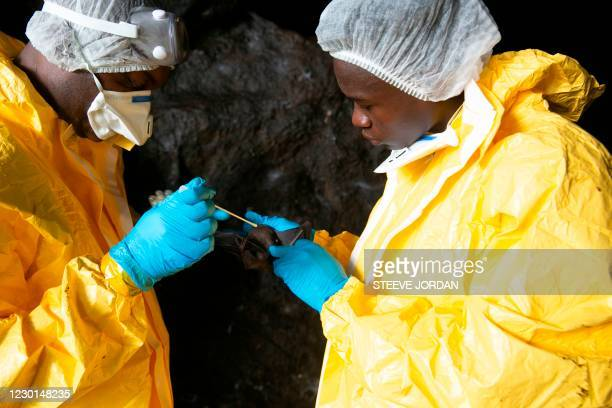 Researchers with Franceville interdisciplinary Medical Research Centre collect samples from a bat on November 25, 2020 inside a cave in the Zadie...