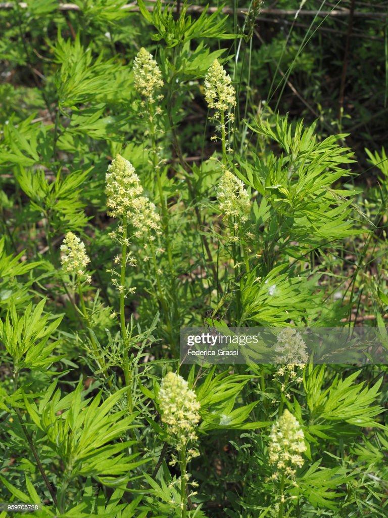 Reseda Lutea (Yellow Mignonette or Wild Mignonette) : Stock-Foto