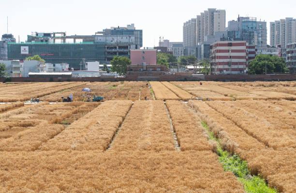 CHN: 'Most Luxurious Farmland' In Downtown Beijing