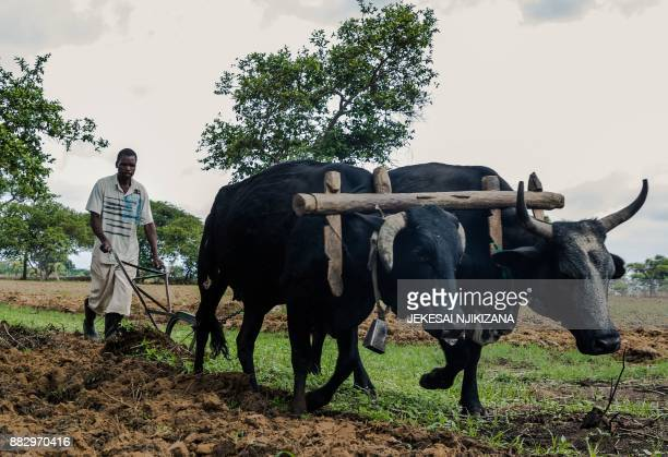 A resettled farmer opens a furrow in his field with an oxdrawn plough on Eden farm where Deon Theron ran a successful dairy farm before he was forced...