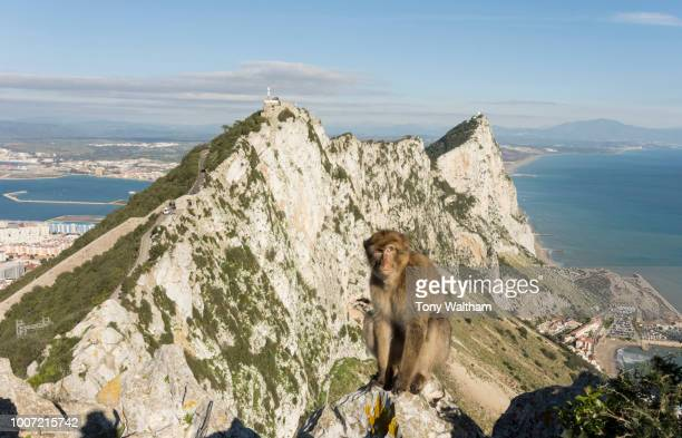 resident barbary macaque, with view north along the rock behind him, gibraltar, europe - バーバリーマカク ストックフォトと画像