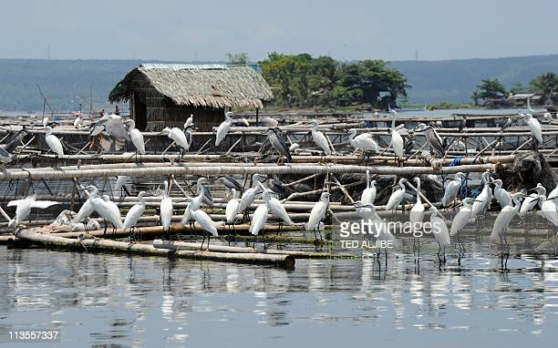 Resident birds crowd a fish cage looking for food at the foot of the Taal volcano in the town of Talisay Batangas province south of Manila on May 3...
