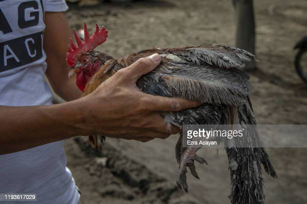 A resident carries a rooster covered in volcanic ash from Taal Volcano's eruption on January 14 2020 in Laurel Batangas province Philippines The...