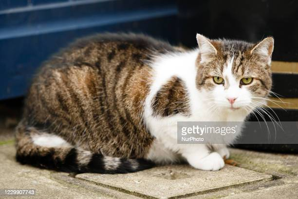 Resident cat Larry sits opposite 10 Downing Street in London, England, on December 2, 2020.