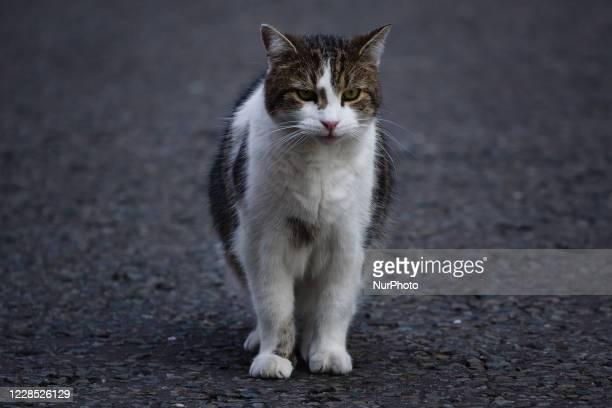 Resident cat Larry walks across Downing Street in London, England, on September 15, 2020.