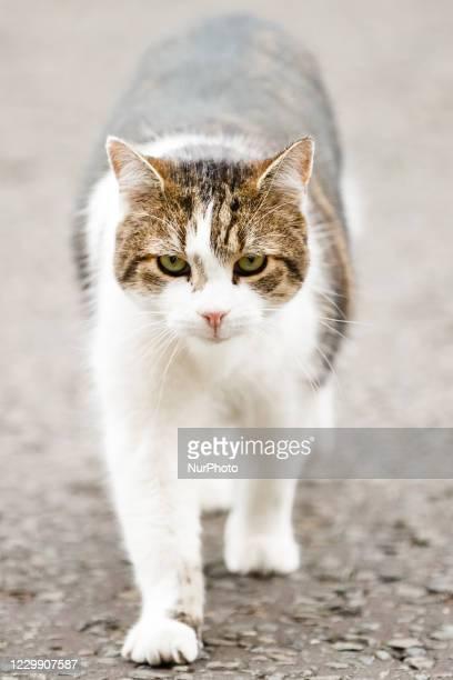 Resident cat Larry walks outside 10 Downing Street in London, England, on December 2, 2020.