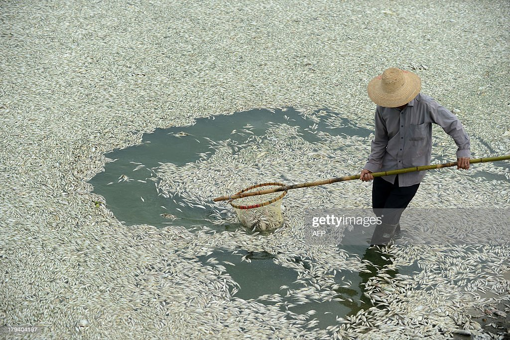 A resident clears dead fish from the Fuhe river in Wuhan, in central China's Hubei province on September 3, 2013 after large amounts of dead fish began to be surface early the day before. According to local media, about 30 thousand kilograms of dead fish had been cleared by late September 2. The official Wuhan municipal government's emergency office Weibo account announced on September 3 that the fish had died of severely high levels of ammonia. CHINA