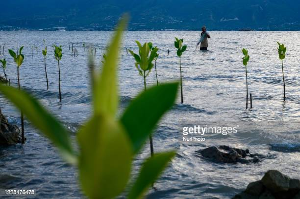Resident installed a fishing net between mangrove trees that began to grow on the beach of Mamboro, Palu City, Central Sulawesi Province, Indonesia...