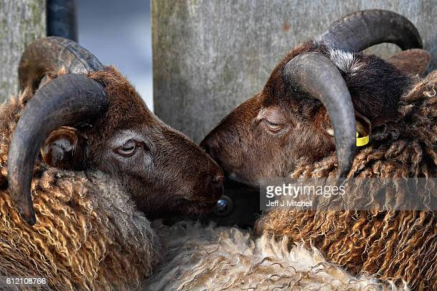 Residents of Foula take sheep off the island bound for the market on the boat the New Advance on October 2, 2016 in Foula, Scotland. Foula is the...