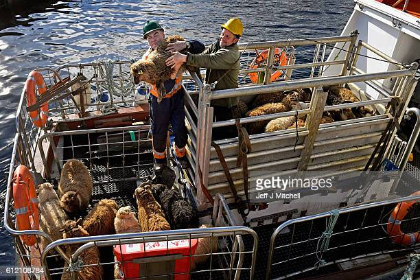 Residents of Foula take sheep off the island bound for the market on the boat the New Advance on October 2 2016 in Foula Scotland Foula is the...
