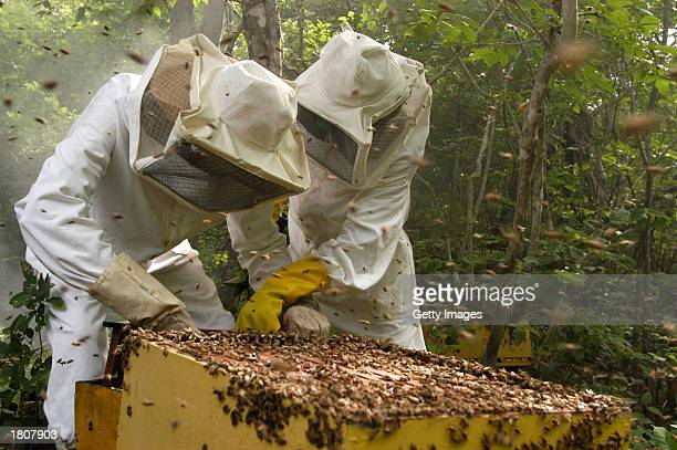 Residents of Lagoa da Caridade harvest honey February 16 2003 in Lagoa Da Caridade Brazil Lagoa da Caridade is situated in the state of Piaul which...