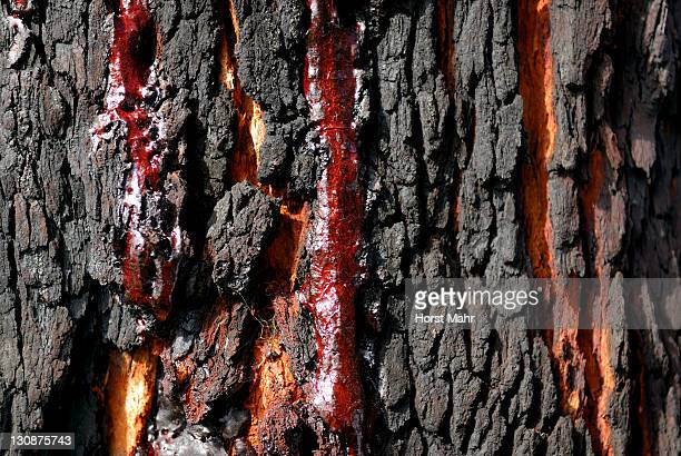 Resin produced by a carbonized Red Gum or Marri tree (Corymbia calophylla), Ambergate Reserve, Western Australia, Australia