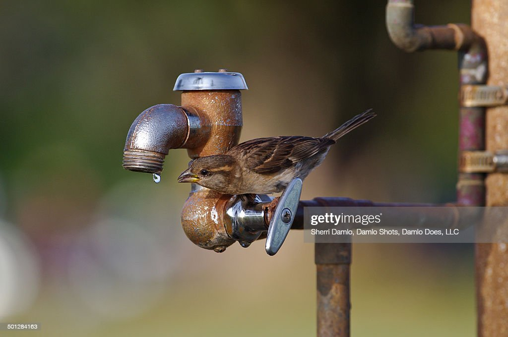 Resourceful sparrow : Stock Photo