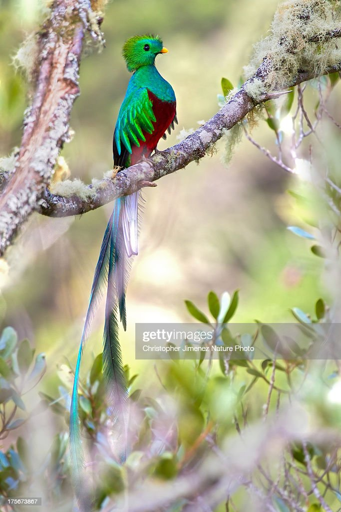 Resplendend Quetzal : Stock Photo