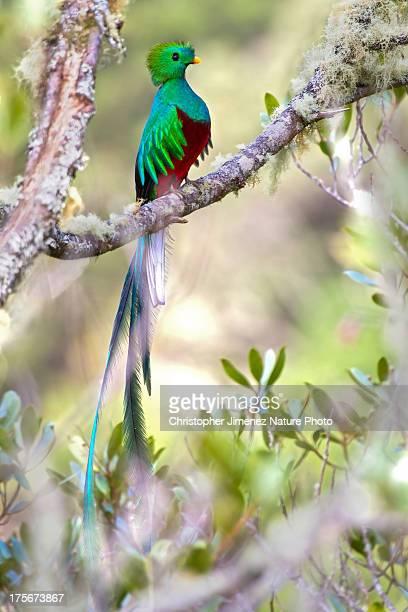 Resplendend Quetzal