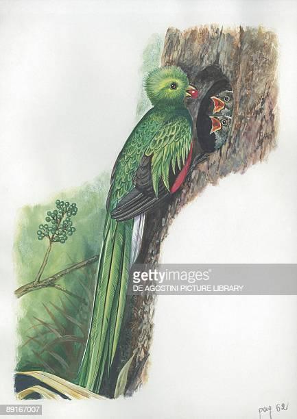 Resplendent Quetzal feeding chicks in nest illustration