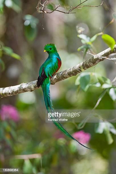 Resplendent Quetzal (Pharomachrus mocinno costaricensis) male in tropical rainforest, Costa Rica, Central America