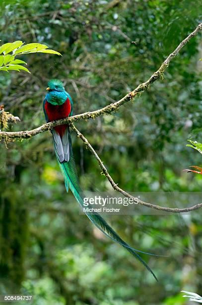 Resplendent Quetzal -Pharomacrus mocinno-, male, San Gerardo de Dota, Province of San Jose, Costa Rica, Central America