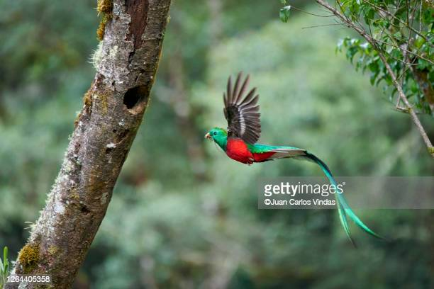 resplendent quetzal - tropical bird stock pictures, royalty-free photos & images