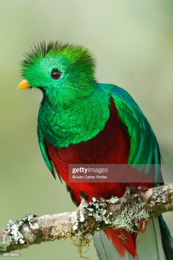 Resplendent quetzal : Stock Photo