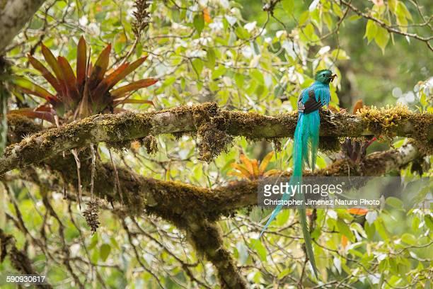 Resplendent Quetzal with cricket