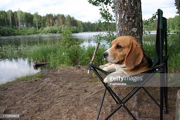 rest on nature - beagle stock pictures, royalty-free photos & images