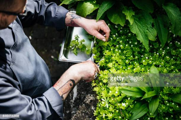 Restaurant Chef Taking Cuttings From His Herb Garden