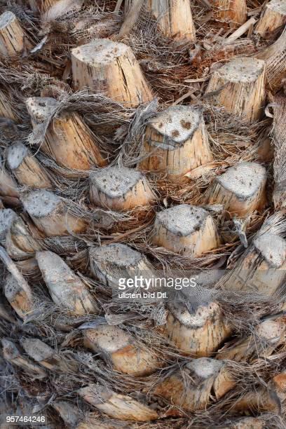 Reste alterabgestorbener Blätter im unteren Teil einer Kanarische Dattelpalme , Playa Blanca, Insel Lanzarote, Kanarische Inseln, Kanaren, Spanien