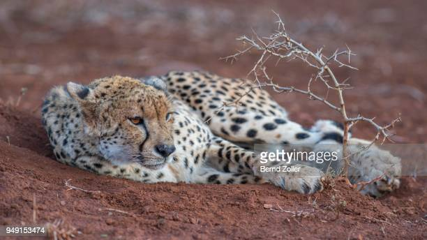 resting adult female cheetah (acinonyx jubatus), zimanga private game reserve, kwazulu-natal, south africa - carnivora stock photos and pictures