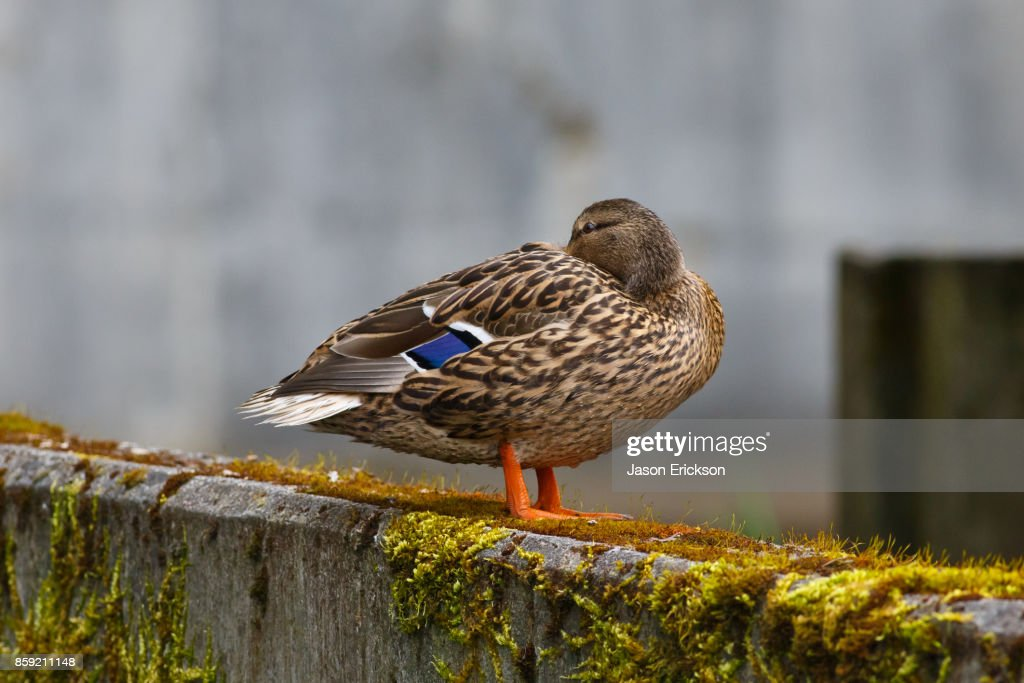 Resting Female Mallard Duck Stock Photo Getty Images
