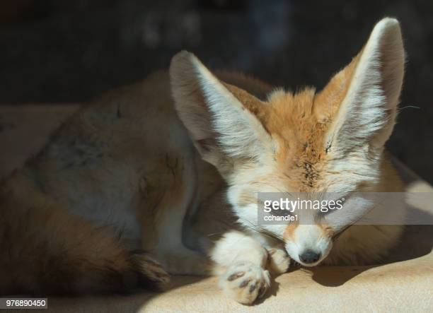 resting fennec fox (vulpes zerda), honolulu, hawaii, usa - fennec photos et images de collection