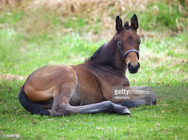 foal stock photos and pictures getty images