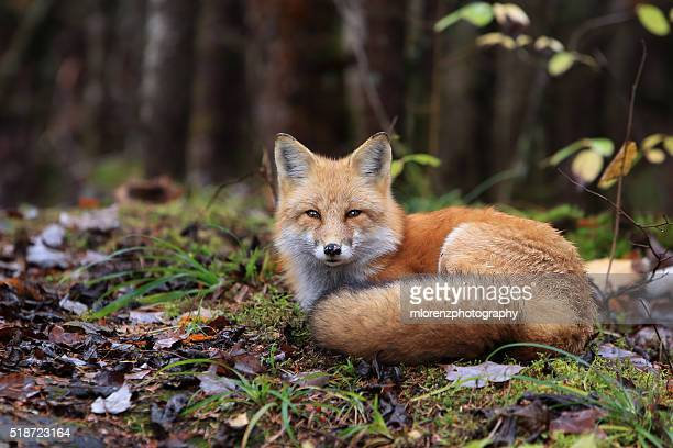 resting fox - fox stock pictures, royalty-free photos & images