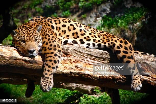 resting jaguar - felino fotografías e imágenes de stock