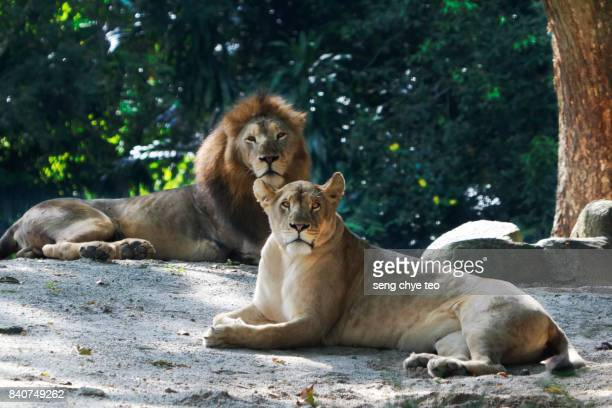 Resting Male and female lioness
