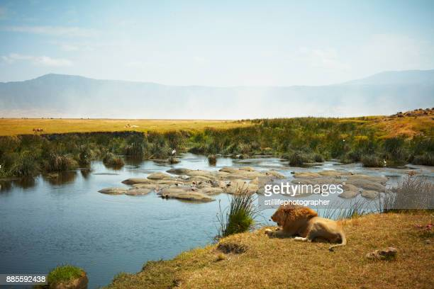 resting male lion, in side view, with hippo filled watering hole and female lion in background in ngorongoro crater, tanzania - ngorongoro conservation area stock pictures, royalty-free photos & images