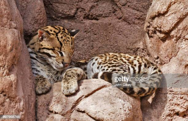 60 Top Ocelot Pictures, Photos and Images - Getty Images
