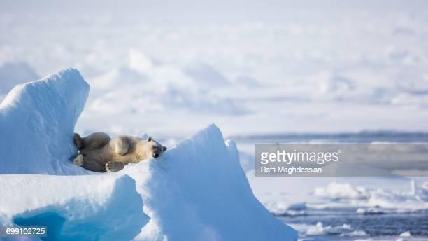 resting on an ice promontory, Ursus Maritimus, Spitzbergen, Svalbard
