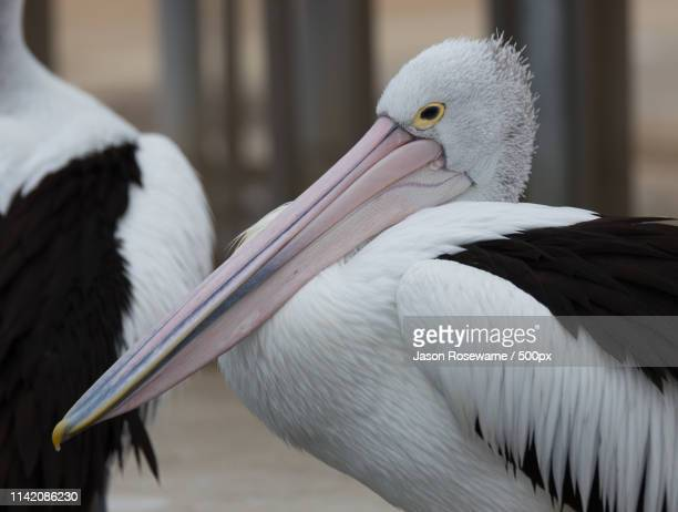 resting pelican - mallacoota stock pictures, royalty-free photos & images