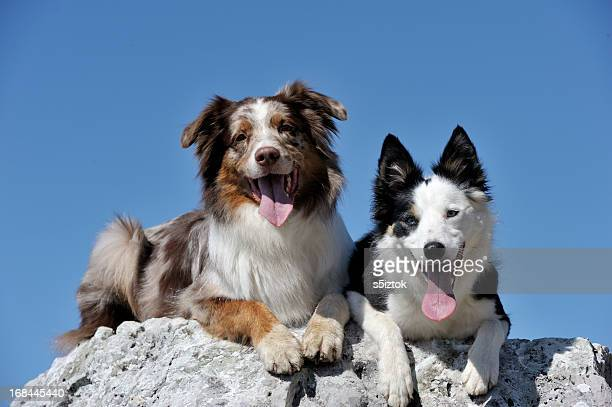 resting - pack of dogs stock pictures, royalty-free photos & images