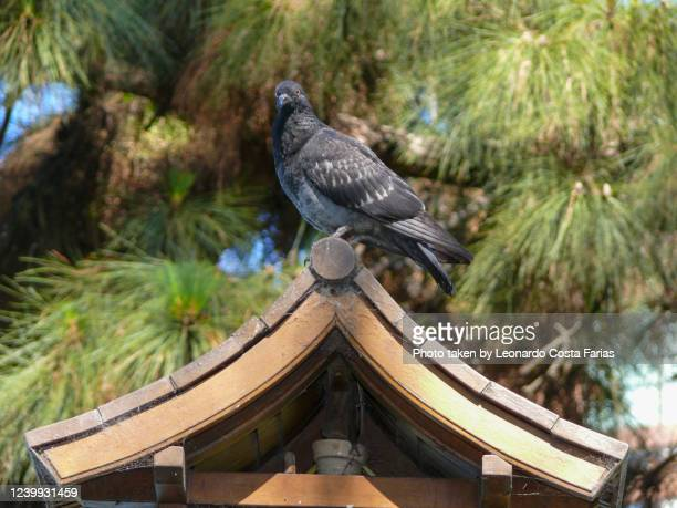 resting pigeon - leonardo costa farias stock pictures, royalty-free photos & images