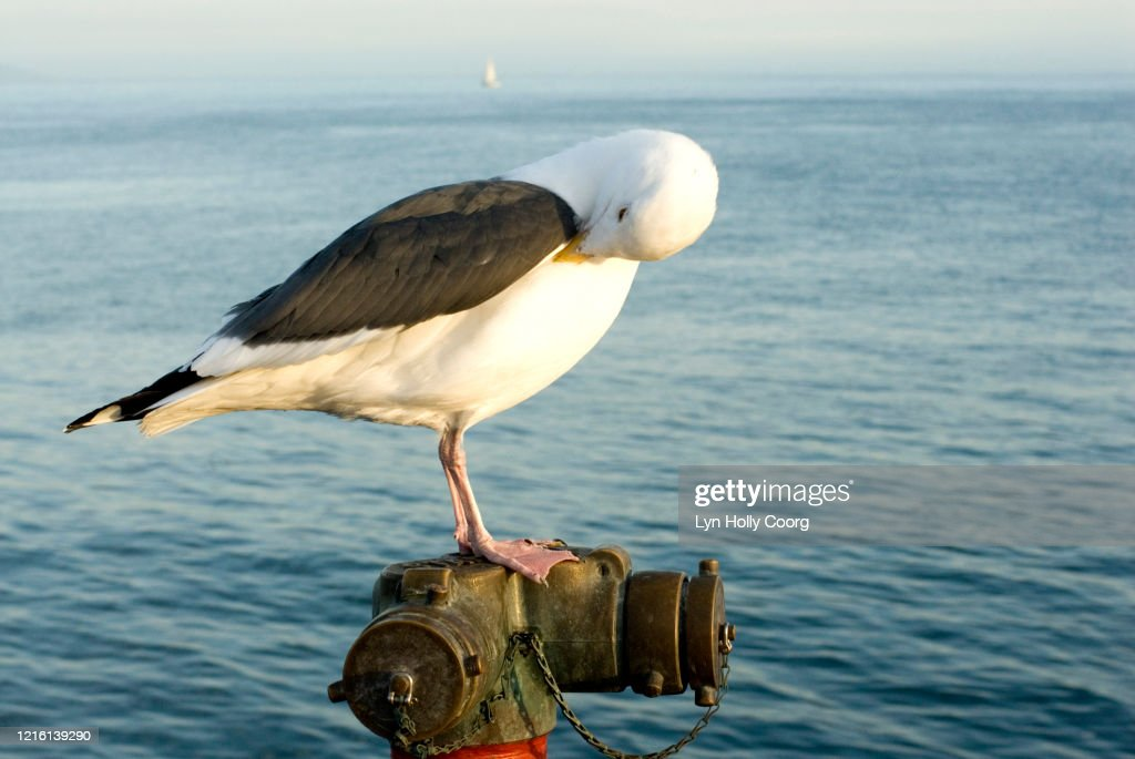 Resting seagull with blue sea in background : Stock Photo