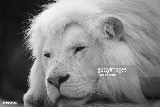 resting white lion - white lion - fotografias e filmes do acervo